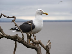 23_07_2016_1208 (andysuttonphotography) Tags: lesser black backed gull larus fuscus steep holm bird island nature wildlife sea bristol channel