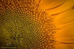 Sunflower Macro.jpg (Draycott Photography) Tags: staffordshire draycottphotography canon canon70d 70d draycottintheclay draycott macro macrophotography macrolens flower flowers colour color colourful nature naturebest garden gardenflowers