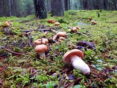 Cortinarius caperatus (Dochac - Meteorologist) Tags: fungus fungi funghi mushrooms pilzen hongos champignons dolomiti woods boschi dolomites bosco wild nature natura cortinarius pholiota rozites cortinariuscaperatus pholiotacaperata rozitescaperata