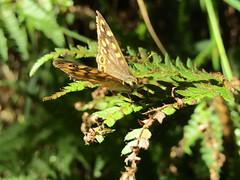 (Laura Rubio Lareu) Tags: butterfly mariposa bolboreta green nature