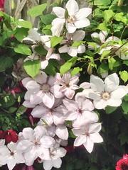 Clematis  #garden #flower  #clematis #white #blume wei #garten #summer #sonne (cloudy4days) Tags: garden flower clematis white blume garten summer sonne