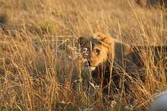 Lion Watch (www.mattprior.co.uk) Tags: adventure adventurer journey explore experience expedition safari africa southafrica botswana zimbabwe zambia overland nature animals lion crocodile zebra buffalo camp sleep elephant giraffe leopard sunrise sunset