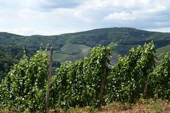ckuchem-1438 (christine_kuchem) Tags: ahrtal anbau anbaugebiet eifel felsen rotweinwanderweg schiefer schieferfelsen sommer weinanbau weinberg weintraubenanbau weintrauben
