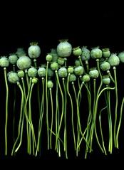 57537.01 Papaver somniferum (horticultural art) Tags: horticulturalart papaversomniferum papaver poppy opiumpoppy seedpods bunch bouquet