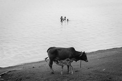 nazirganj,pabna : 2016 (Extinted DiPu) Tags: canon canon700d camera kit lens photography vlac blackandwhite monochrome lifestyle lifestyleofbangladesghipeople river bank outdoor water bangladesh pabna breastfeeding animal cow scout exploring explore inexplore flickr 121clicks