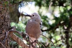 Clark's Nutcracker (Patricia Henschen) Tags: bird clarksnutcracker echolake denvermountainparks mountains park mtevansscenicbyway mtevans scenicbyway idahosprings colorado