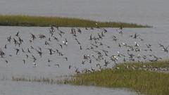 Take-off 3 (jump for joy2010) Tags: uk england somerset huntspill riverparrett hightide september 2016 nature wildlife birdwatcing birds blacktailedgodwits limosalimosa flocks inflight waderbirds