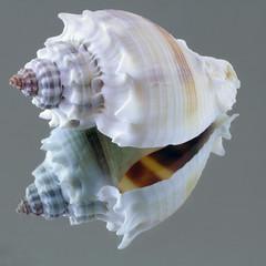 Conch Shell (arbyreed) Tags: arbyreed macromondays inthemirror shell seashell close closeup reflection reflected mirrorimage