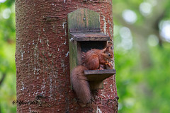Aberfoyle (yve1964) Tags: redsquirrel squirrel aberfoyle nature wildlife animal scotland tree