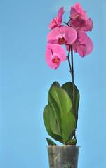 Phalaenopsis (lhemund) Tags: phalaenopsis flash yongnuo speedlight flower flowers plant orchid nikon alhemund noeffects nofilter nohdr noeffect natural colors color flashgun light yn560iii d7000 3230k d7k colorfilter godox 135mm 135 jupiter