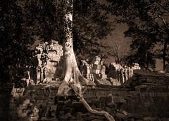 Ta Prohm Tree (Marshall Ward) Tags: siemreap angkorwat taprohm cambodia temples marshallward mwardphotographycom nikond800 afsnikkor1635mmf4gedvr 2016 southeastasia landscape