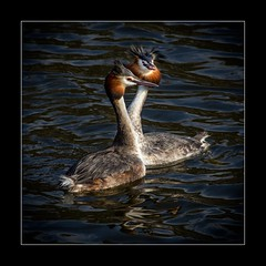 Grebe courtship dance (tkimages2011) Tags: dance sthelens grebe merseyside courtship carrmill