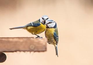 Blue tits (Cyanistes caeruleus)