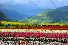 Tulips of the Valley Festival 2015 (SonjaPetersonPh♡tography) Tags: flowers canada tulips britishcolumbia tulipfestival fraservalley 2015 tulipfields agassiz agassiztulipfestival tulipsofthevalley tulipsofthevalleyfestival nikond5200 nosgreenhousesltd nikonafs18140mmf3556edvr tulipsofthevalleyfestival2015