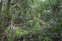 Na Pali forest 2060 (Hawaiian Biota) Tags: kauai hanakapiai kalalautrail napalicoastsp