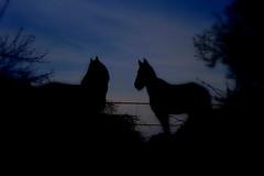 Joe and Joy (Lulu_Sunset) Tags: horse nature animals tiere natur pferd norweger fjordpferd