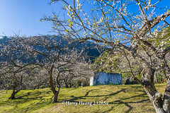 Harry_23265a,,,,,,,,,,,,,,,,,,,Plum,Plum Tree,Tree,Fruit,Farm (HarryTaiwan) Tags: tree fruit nikon farm plum taiwan     plumtree d800     nantou       nantoucounty          harryhuang  hgf78354ms35hinetnet adobergb