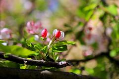 Blossom, SUU Campus, 5 April 2015 (2) (Bob Palin) Tags: 15fav usa 510fav canon utah spring blossom ironcounty cedarcity club100 100vistas instantfave canonef24105mmf4lisusm suucampus orig:file=2015040500813adjust1024