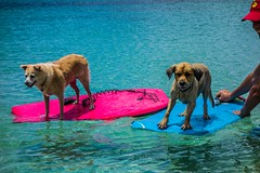 """Boogie Boarding Dogs • <a style=""""font-size:0.8em;"""" href=""""http://www.flickr.com/photos/91306238@N04/16845604734/"""" target=""""_blank"""">View on Flickr</a>"""