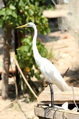 Ardea alba egretta - Great Egret (Roger Wasley) Tags: birds jamaica caribbean negril greategret westmoreland westindies neotropical ardeaalbaegretta