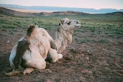 Patience (toletoletole (www.levold.de/photosphere)) Tags: desert morocco zagora marokko wste dromedar dromedaries