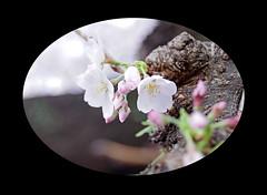 "Bud (karakutaia) Tags: sun tree love nature japan paper temple tokyo heart afotando ""flickraward"" flickrglobal allbeautifulshotsandmanymoreilovenature flowerstampblackandwhite transeguzkilorestreetarturbanagreatshotthisisexcellentcontestmovementricohgxr""serendipitygroupbluenatureicapturecardjapanesepapercardflickraward5""j trasognoerealtabstractelementsorganizersimplysuperb"
