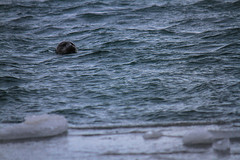 Jkulsarln, Iceland (ChecaPablo) Tags: beach animal canon eos iceland islandia head ashes seal 7d glaciar cenizas jkulsarln canoneos7d