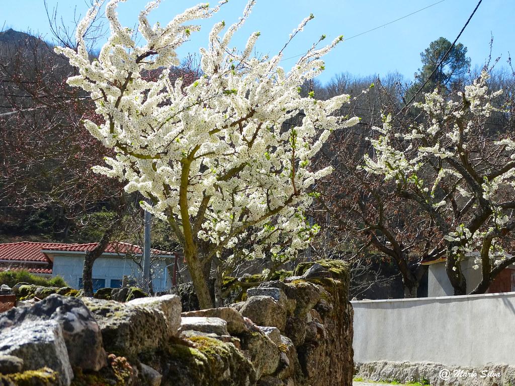 Águas Frias (Chaves) -  ... alvas flores nas árvores de fruto à beira do caminho ...