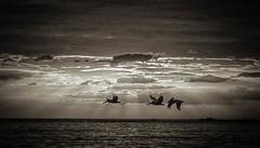 P1020652-Edit-Edit-Edit-Edit.jpg 3 .3 (ChanHawkins) Tags: sunset pelicans birds lumix costarica samara fz1000