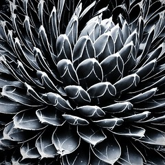 Agave victoriae-reginae  Endémico de Coahuila, Durango y Nuevo León  #agavaceae (Greñitas) Tags: square squareformat iphoneography instagramapp uploaded:by=instagram