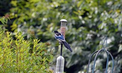 Magpie on a Feeder (John Carson Essex) Tags: thegalaxy thegalaxystars rainbowofnature supersix