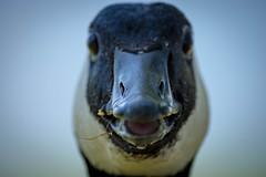 """Want me to bite you again?"" (knoxnc) Tags: wild summer nature closeup washingtondc nikon portait goose depthoffield d7200"