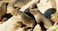 Anglų lietuvių žodynas. Žodis eared seal reiškia undulata antspaudas lietuviškai.