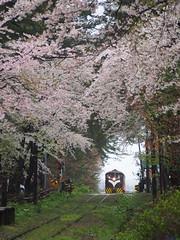 (ChihPing) Tags:        sakura   japan   olympus em5 omd 45mm f18 aomori