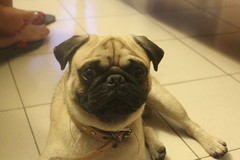 It's a pug life (jaflongproductions) Tags: pug puglife dog doggy pet grosso k9 canine cute cuteness adorable mansbestfriend mate vsco vscocam vscogood vscogrid vscogram vscophile vscophoto vscodaily vscodog vscoanimal animal pedigree puppy pup