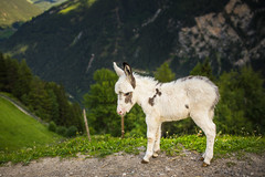_MG_2938 (martin.jooss) Tags: mountain panorama alpen sterreich outdoor landschaft hgel berg donkey esel