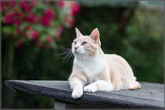 Stanley (No_Water) Tags: ebersbachanderfils badenwrttemberg deutschland de stanley cat tiger red ginger white