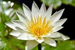 Purity! (ineedathis,The older I get the more fun I have....) Tags: whitedelight waterlily lily watergarden pond flower exotic tropical beauty nymphaea macro   garden nature summer white yellow nikond750