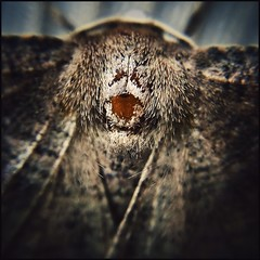 The Face  -57/100 (Firery Broome) Tags: insect moth gray brown head pattern scales hair tuesdaystextures 100x2016 100xthe2016edition image57100 cellphone phonephoto iphone iphone5s externallens olloclip macro closeup dof bokeh ipad ipaddarkroom apps snapseed square nature naturelovers earthnature artofnature abstract abstractnature squarenature squareabstract newark delaware delawarenature 365 nationalmothweek