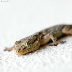 DSC_0003 (filippocaramelli) Tags: macro geco reptile rettile gecko micro animale animal allaperto