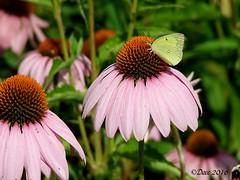 Orange Sulphur on Purple Coneflower (Picsnapper1212) Tags: sulphur butterfly purpleconeflower coneflower insect animal flower wildflower milerecologicalpark lebanon ohio warrencounty