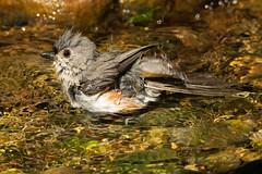Cooling Off! (charissa1066) Tags: bird tuftedtitmouse specanimal