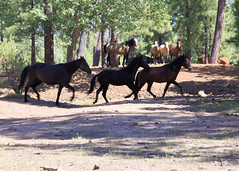I58C0119 (Wild Arizona Photography) Tags: wildhorses forest trees nature