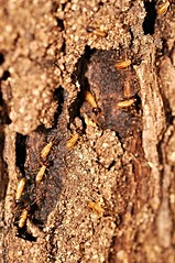 termites (DOLCEVITALUX) Tags: animals insect termites termite