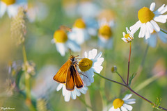 Summer spirit (StephAnna :-)) Tags: butterfly meadow flower wiese schmetterling papillon