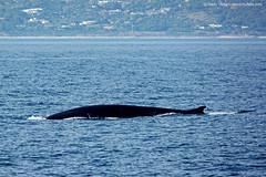 La Reina del Estrecho  (Queen Strait) (Retratista de paisajes y paisanajes) Tags: espaa fish animal de spain andalucia whale gibraltar aire libre ballena tarifa estrecho cetceo cetaceos rorcual