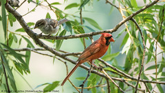 Cardinal and Sparrow (P7172136) (Michael.Lee.Pics.NYC) Tags: newyork male bird bokeh centralpark olympus sparrow mkii markii harlemmeer northerncardinal em5 lumix100300mm