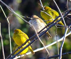 Con frio [Jilgueros] (jagar41_ Juan Antonio) Tags: animal aves pjaros ave animales pjaro jilgueros jilguero