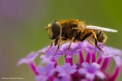 Hungry hoverfly (Bianca Valkenier PhotoArt) Tags: flower macro nature closeup canon insect outdoor hoverfly verbena zweefvlieg blindebij sigma150mmmacro canon7d eristalistenaxgenuseristalisdronefly