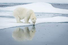 Ice Bear (D-Niev) Tags: norway svalbard polarbear bear packice ice arctic visipix